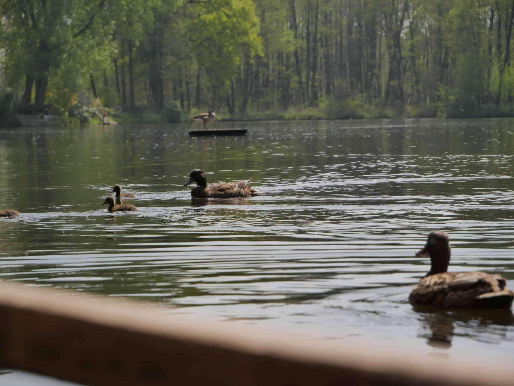 Enten schwimmen auf einem Teich, Foto: ZeitRaum Gruppe